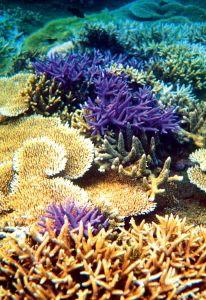 Coraux en Nouvelle-Calédonie.
