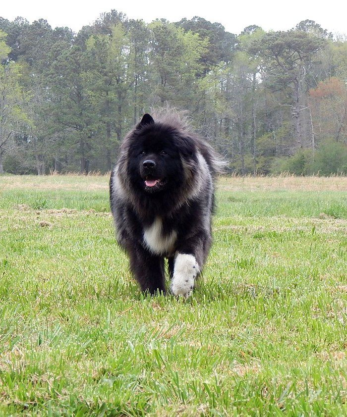 Yogi The Long Haired Akita Yogi The Long Haired Akita