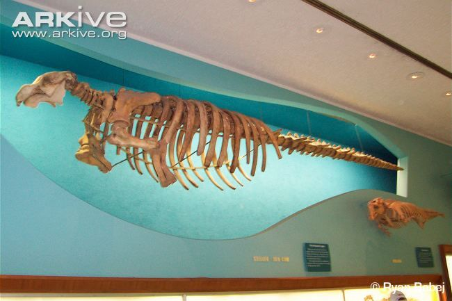 Mounted skeleton of the Steller's sea cow
