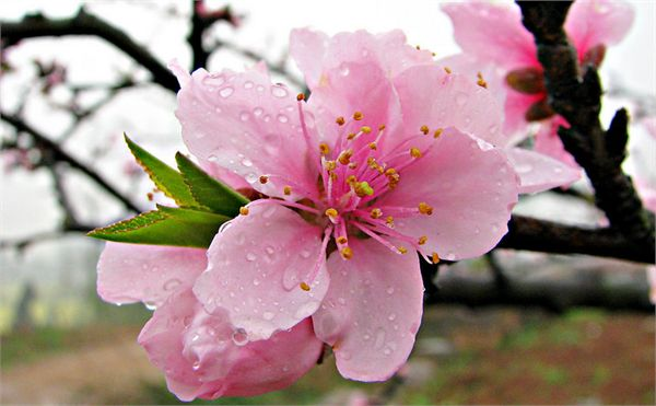 After the rain the peach blossom