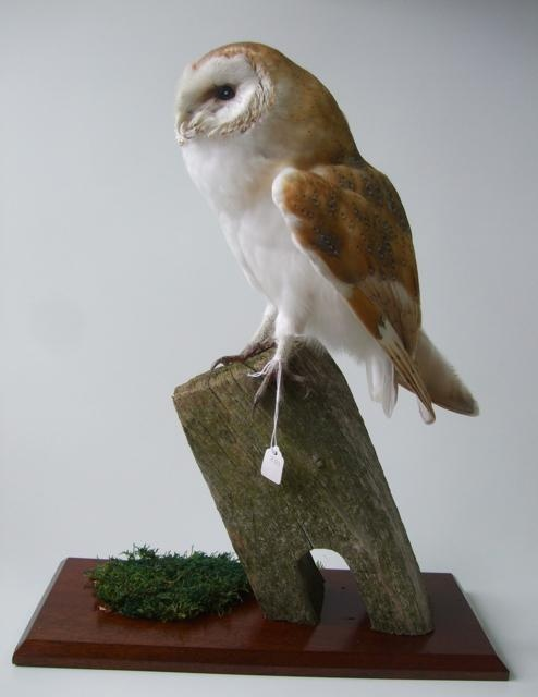 Taxidermy OwlTaxidermy Owl