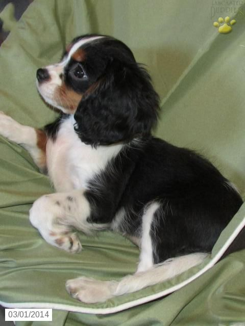 Cavalier King Charles Spaniel Puppies | Check out the other Cavalier King Charles Spaniel puppies for sale in ...