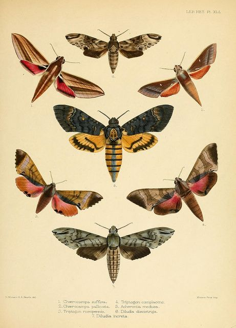 Illustrations of typical specimens of Lepidoptera Heterocera in the collection of the British Museum v.3 London Printed by order of the Trustees1879