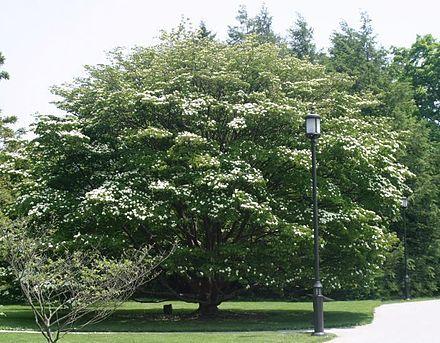 Chinese Dogwood ( Cornus kousa ) ornamental 12 25 ft