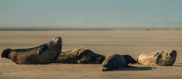 Rustende Grijze zeehonden op een zandplaat in de Waddenzee.