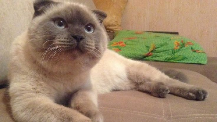 An 18-month-old Scottish Fold Cat named Barsik is leading by a landslide in the latest election poll with voters who are fed up with government corruption.