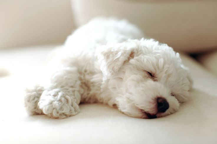 Thanks to their petite size — they typically weigh between 7 and 12 pounds — Bichon Frises are a great choice for tiny apartments. Though they are a playful and energetic breed, according to Pet Guide, they aren't your typical small, yippy dog. Bichon Frise's tend to show restraint when it comes to barking.   - TownandCountryMag.com