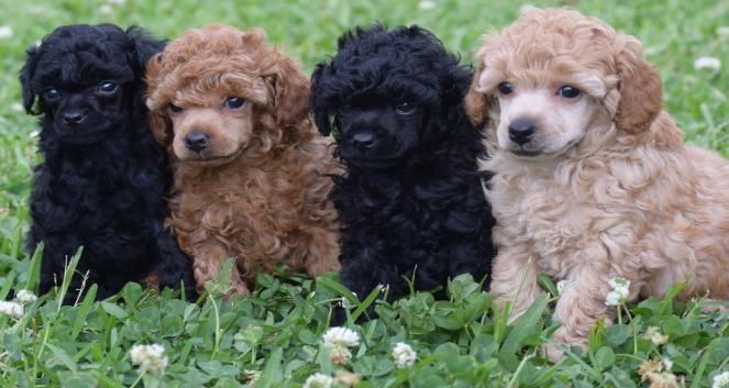Radiant Red Poodles Akc Toy Poodles Red Black Apricot Puppies Toy Poodle Red Poodle Poodle Puppy