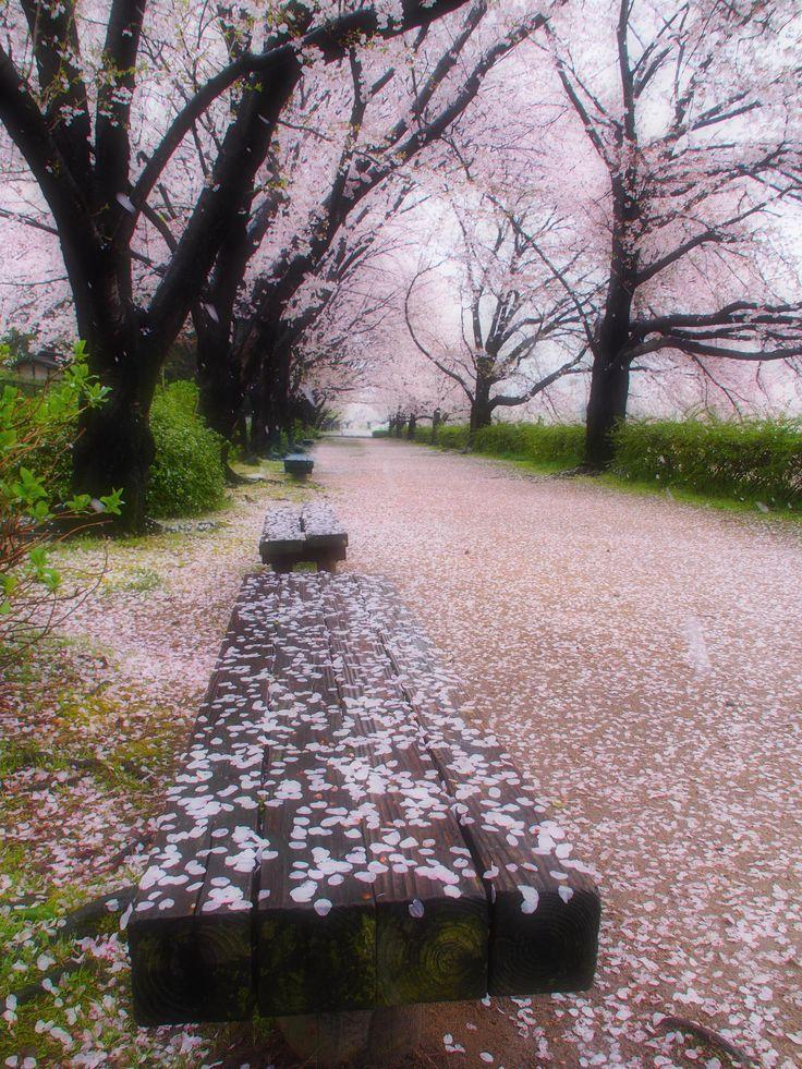 After the rain - Sakura in Japan