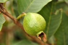 Guava Tree for Sale | Guava Trees for Sale | Fast Growing Trees