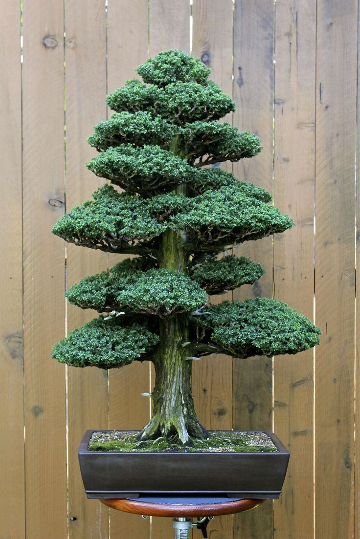 A Powerful Bonsai Tree How Cool Would That Be On Your Patio See Wiring More Trees At Http Nurserytreewholesalerscom Pinterest