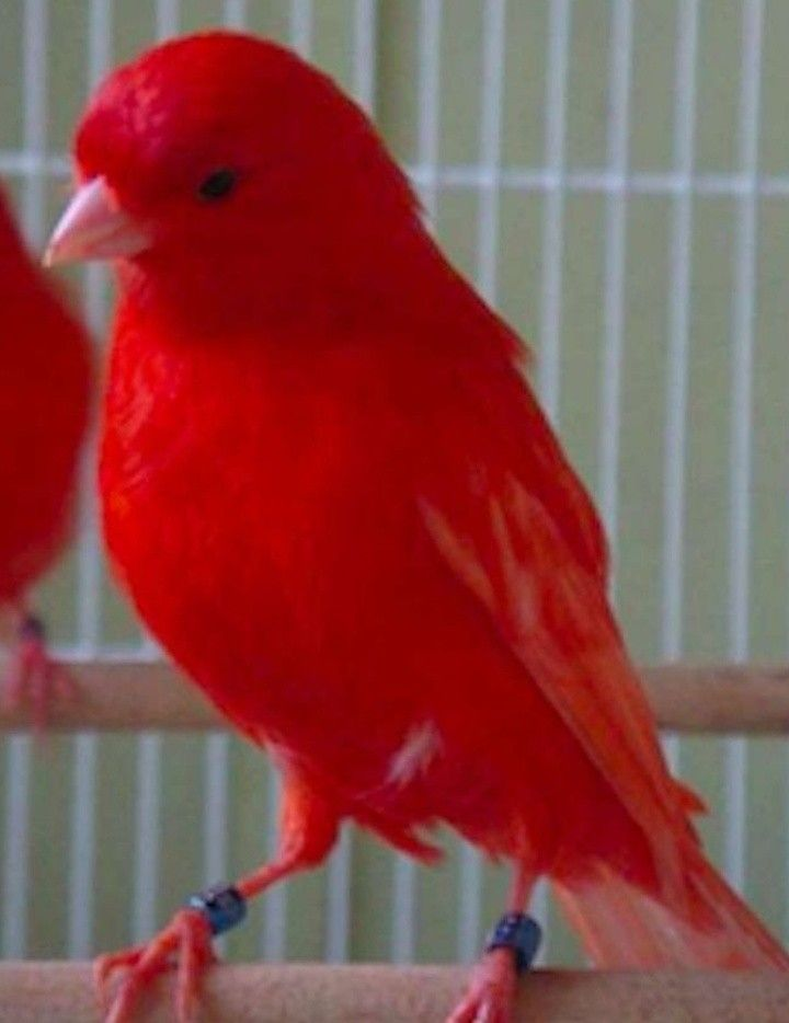 Red Factor Canary Breeders