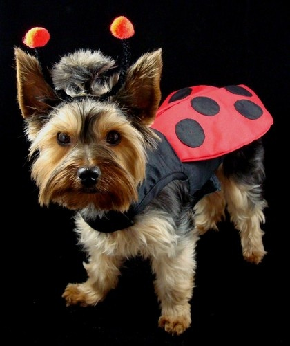 Doggie Design Harness Dog Puppy Yorkie Maltese Halloween Costumes Ladybug   eBay...oh yes, this is SO happening.