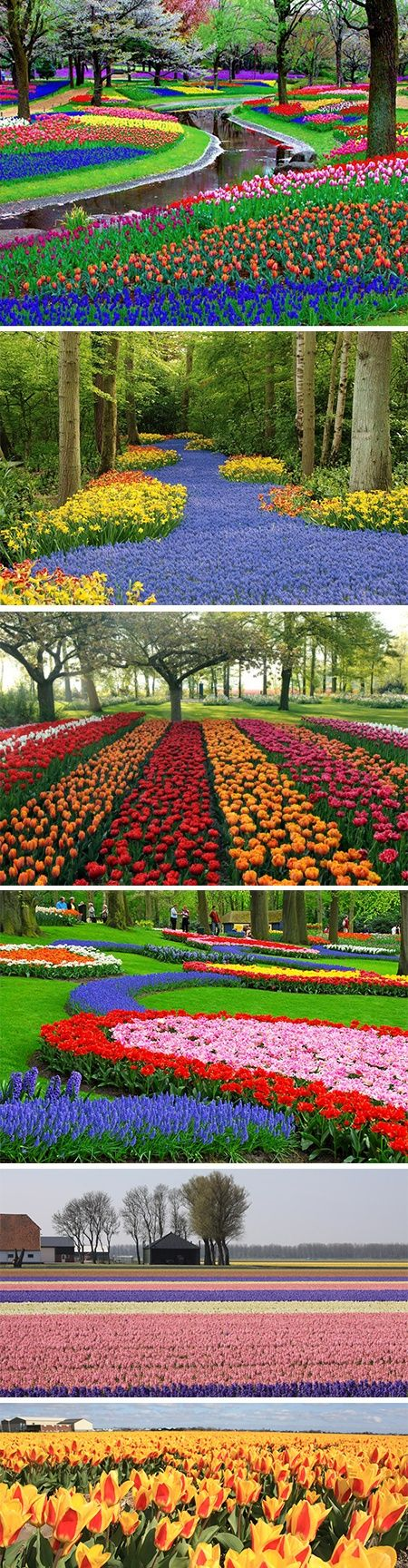 """Keukenhof Garden, Amsterdam   """"The Largest Flower Garden in the World"""". I didn't get a chance to go here when I was in Holland but I would love to see it someday. (SK)"""