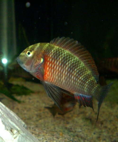 40 best tropheus images on pinterest cichlid fish for African freshwater fish
