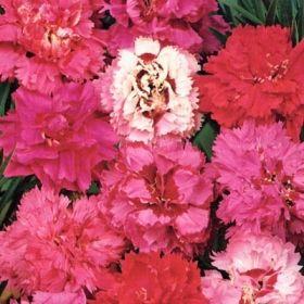 FJÄDERNEJLIKA ''Spring Beauty'', sol, 25 cm, bunddække, stenbed Förkultiveras inomhus i feb-mar eller sås utomhus i krukor eller på friland maj-sep. Fröerna täcks med ett tunt lager perlit.