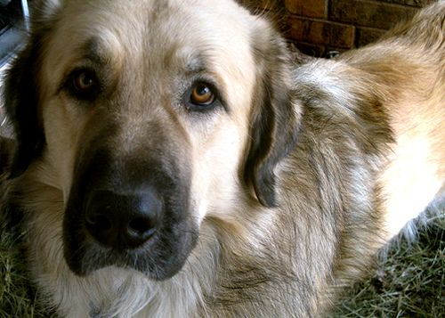 Anatolian Shepherd looking into your soul. #anatolianshepherd