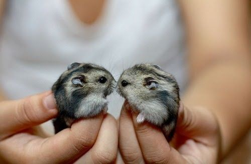 A pair of dwarf hamsters.