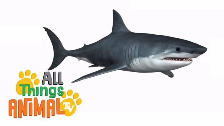 We can introduce sharks in classroom with this wonderful video! All Things Animal is a great youtube channel where you can find many easy video explanations about animals. https://www.youtube.com/watch?v=agqgBkpbCoY
