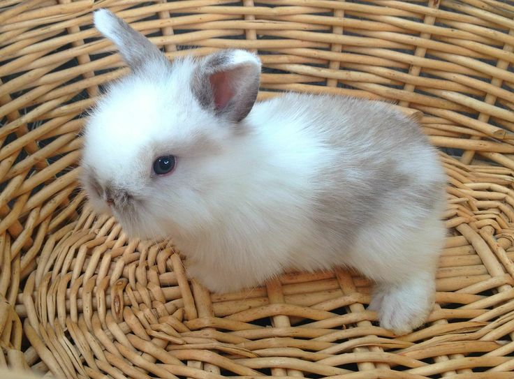 Bunnies!  So stinkin cute.  This is a lionhead and American Fuzzy Lop mix.
