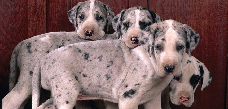 Raza de perros: Gran Danés - http://www.mundoperros.es/raza-de-perros-gran-danes/