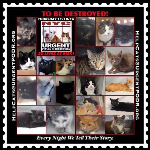 """TO BE DESTROYED 11/10/16 - - Info  Please Share:Please share View tonight's list here: http://nyccats.urgentpodr.org/tbd-cats-page/  The shelter closes at 8pm. Go to the ACC website( http:/www.nycacc.org/PublicAtRisk.htm) ASAP to adopt a PUBLIC LIST cat (noted with a """"P"""" on their profile) and/or … CLICK HERE FOR ADD...-  Click for info & Current Status: http://nyccats.urgentpodr.org/to-be-destroyed-091716/"""