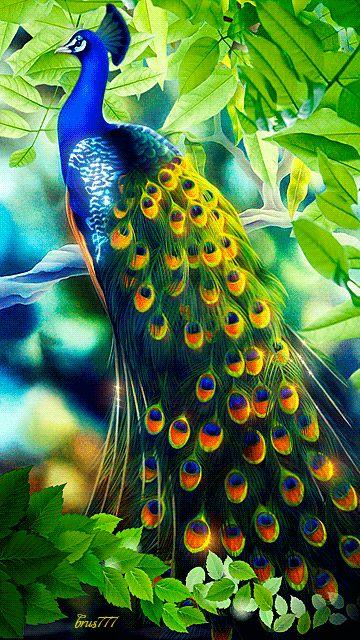 Decent Image Scraps: Peacock Animation