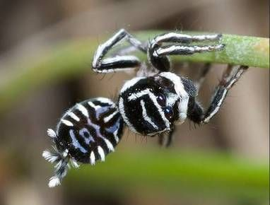 Deux magnifiques araignées paons découvertes en Australie