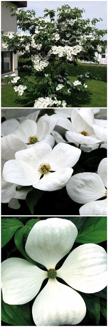 Ein Echter Hingucker Mit Sehr Großen Blüten Ist Der Hartriegel U0027Cornus  Venusu0027. Seine