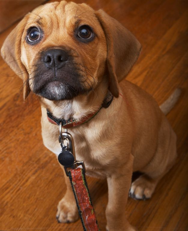 Full-Grown Puggles | puggles full grown image search results