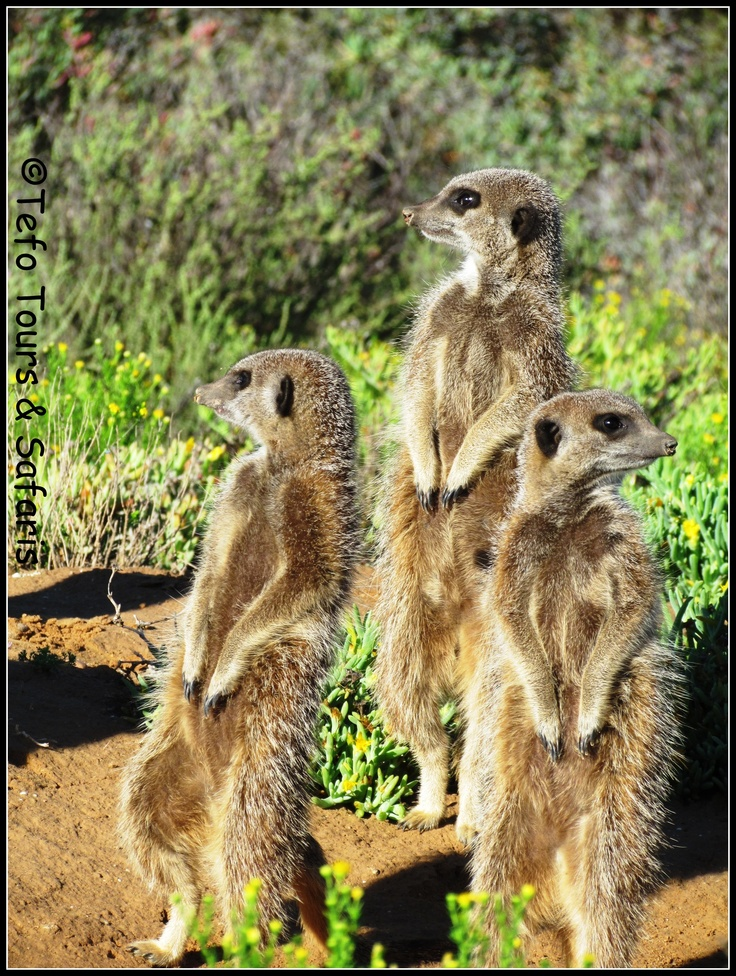 Meerkat spotted at The Zeekoe Guest Farm on Tefo Tour's 8 Day Kruger Park, Cape Town & Garden Route Fully Escorted Tour