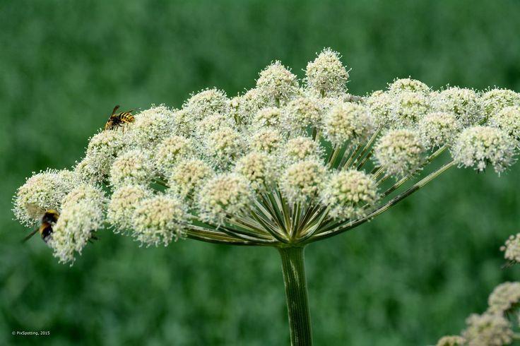 Der Gärtner will Girsch bekämpfen und entfernen. Dabei könnte er dieses immer nachwachsende Wildgemüse achten und sinnvoll in Ernährung und Heilung nutzen - Bild von Pix Spotting [CC-BY-ND-2.0]