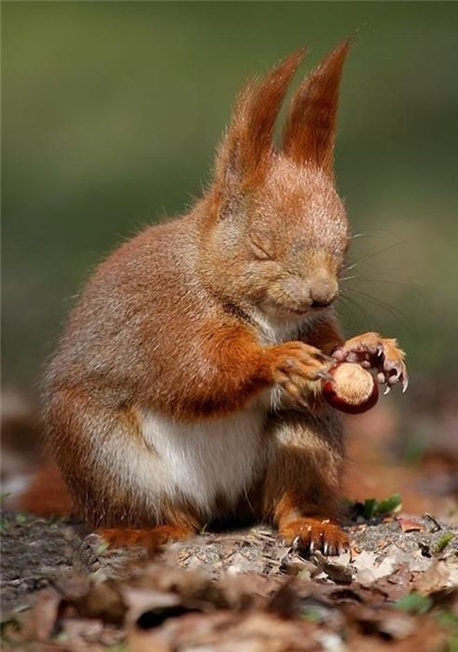 A red squirrel throwing down a nut to crack it.