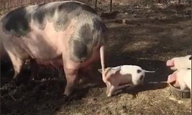 Playful piglet can't stop spinning its mother's tail and it's so cute