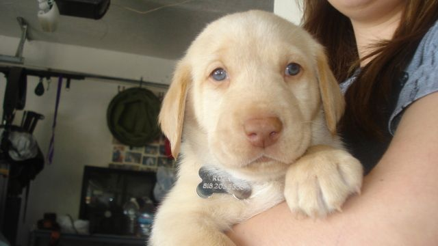 yellow labs with blue eyes