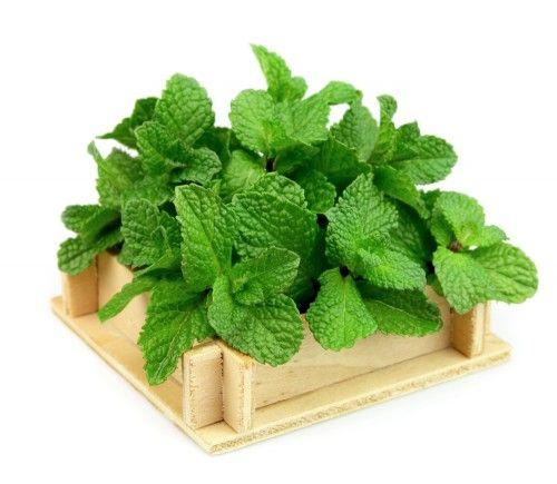 fresh mint...