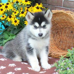 Pomsky puppies for sale on pinterest pomsky breeders pomsky puppies