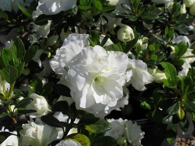 Azalea 'Hardy Gardenia' by Behnke Nurseries, Inc, via Flickr