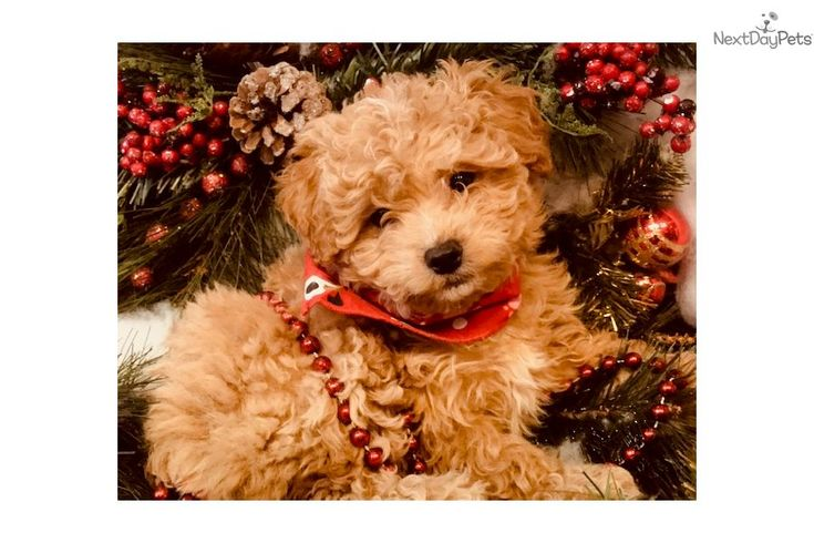 I am a cute cavapoo puppy looking for a home on