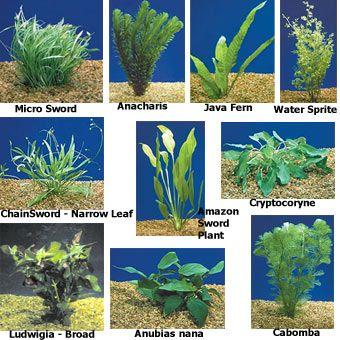 Plantas acuáticas para acuarios de agua dulce