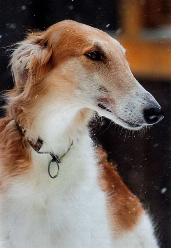 #borzoi #dogs #Russian Wolfhound Dog Photography Puppy Hounds Chiens Puppies
