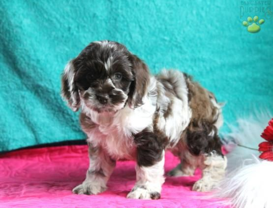 Ellie - Cockapoo Puppy for Sale in Ronks, PA | Lancaster Puppies