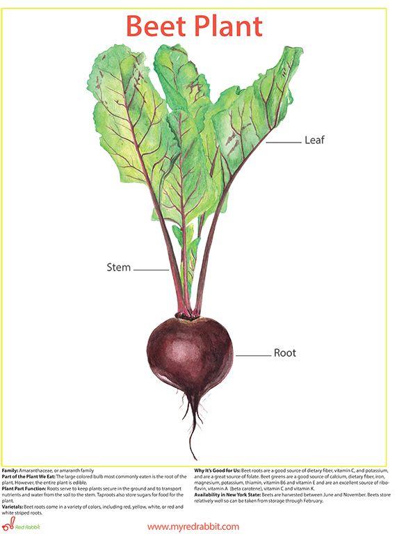 4e516996430b5de1b8d6df94afd03d8c  beet plant the beet