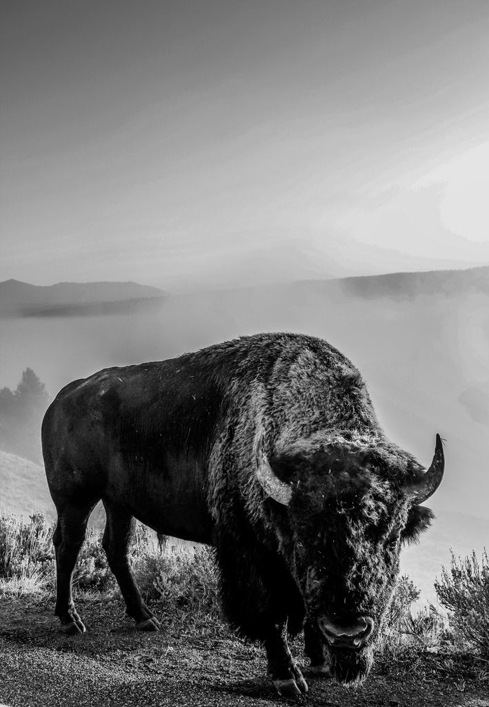 Bison, Yellowstone National Park by Digital_hh  #poler #polerstuff #campvibes