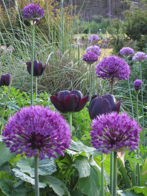 Aliums, Queen of the Night tulips and grasses