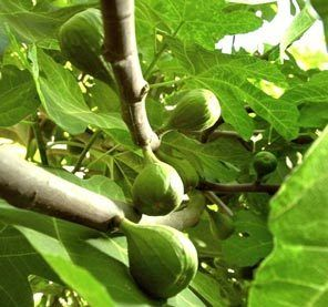 Home & Garden | Fig trees are easy to grow and offer garden beauty and fruit | Seattle Times Newspaper