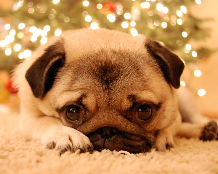384 best The Christmas Pug images on Pinterest | Pug love, Animals ...
