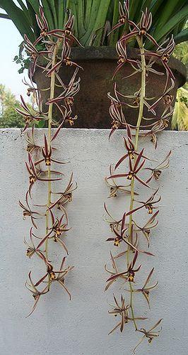 Cymbidium bicolor,