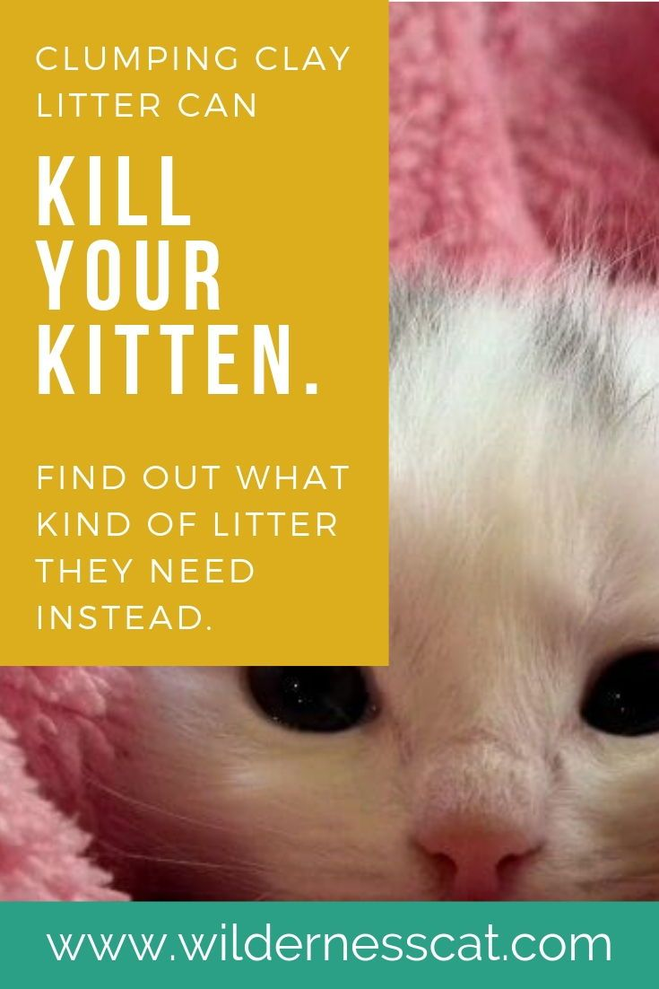 Is Clumping Clay Cat Litter Bad For Kittens Clay Cat Litter Best Cat Litter Kittens