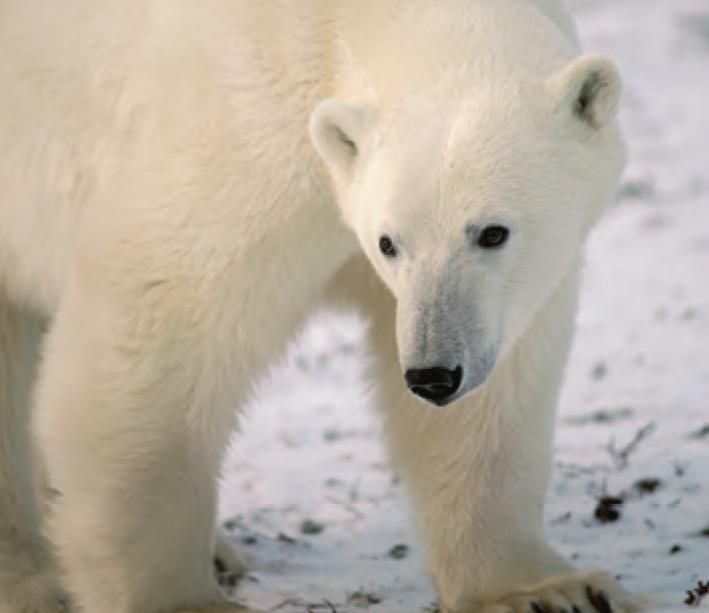 Fast Facts: Polar bear Species name: Ursus maritimus Average weight: 400 - 600 kg (males)150 - 250 kg (females)Life expectancy: approximately 25 yearsDid you know?The polar bear is the only bear that is considered a marine mammal because it depends upon the marine environment for survival.Physiology